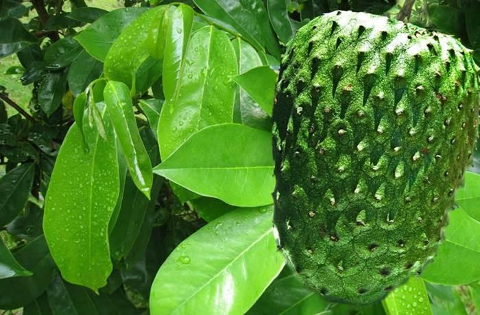 Daun Sirsak Herbal Untuk Penyakit Jantung
